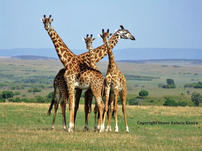 beautiful giraffe photos